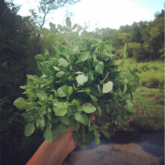 Watercress from the bracing stream at ACRE. Steuben, WI. 8/7 (photo c/o Jenny Kendler)
