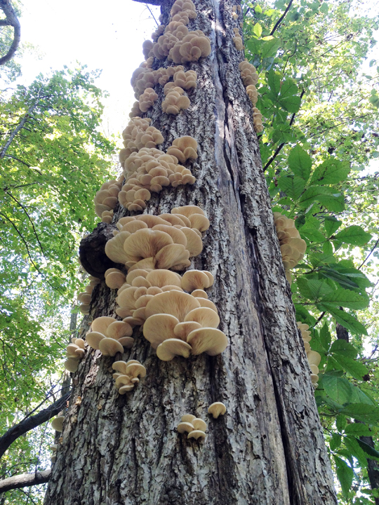 Oyster mushrooms, 9/14