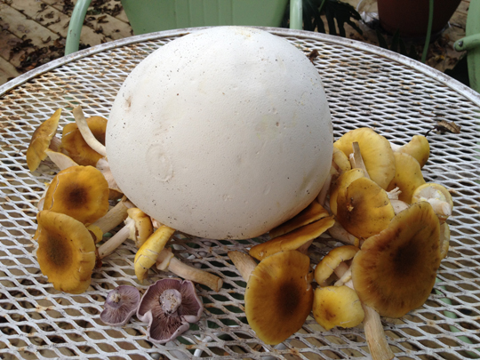 Puffball, wood blewits, & honey mushrooms.